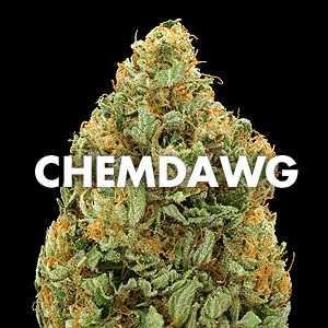 marijuana_strain_chemdawg