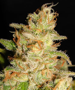 ministry_of_cannabis_northern_lights