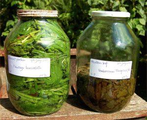 Verbascum and Plantago tinctures